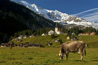 Grazing cows on a mountain pasture