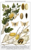 Silkworms (Bombyx mori) and cocoons, silk cocoons,
