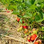 Frische Erdbeeren am Feld