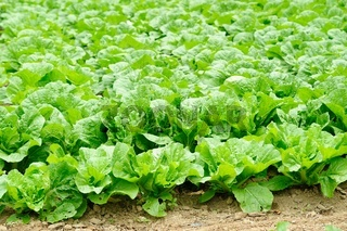 chinese cabbage field in the country side