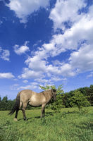 Heck Horse mare in front of blue sky