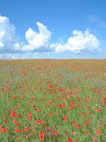 Poppy Field,Ruegen Island,Germany