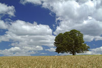 Oak tree in field austria