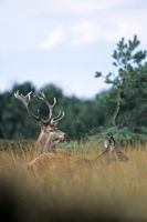 Red Deer stag and calf in dune landscape
