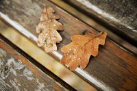Oak autumn leaves with drops of rain water