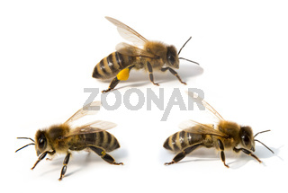 Three bees in front of white background