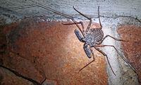whip spider, south africa, wildlife