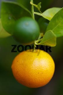Orangenbäumchen im Garten