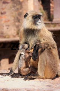 Gray langur (Semnopithecus dussumieri) with a baby sitting at Ranthambore Fort, India
