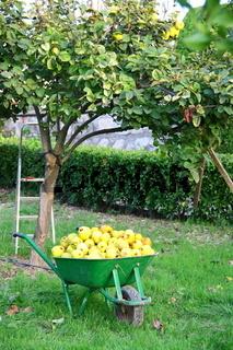 beautiful girl collecting fresh fruit