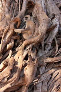Gray langur (Semnopithecus dussumieri) sitting in a big tree, Ranthambore National Park, India