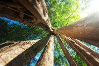 Sunny rainforest with giant banyan tropical tree
