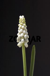 Weisse Traubenhyazinthe, Muscari latifolium,