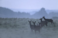 Red Deer hinds in twilight and evening fog