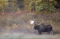 Bull Moose in morning fog standing in the tundra