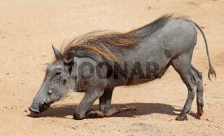 Warzenschwein im Kruger Nationalpark, Südafrika; Warthog, South Africa, wildlife, Kruger Nationalpark