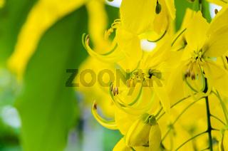 Close up Purging Cassia or Ratchaphruek flowers ( Cassis fistula )