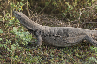 Lizard, Corbett Nationalpark, Nordindien