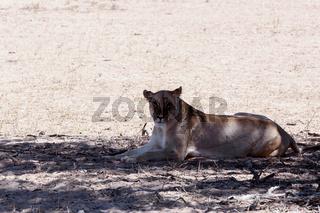 beautiful lioness in shade, Kalahari