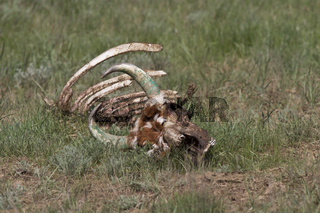 skeleton of a dead cow in the spring Kalmyk steppe