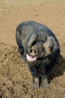 Black Pig in field
