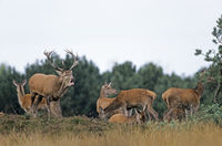 Roaring Red Deer stag, hinds and calfs