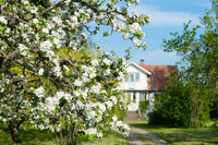 Blooming apple tree in front of a farmhouse in the swedish countryside
