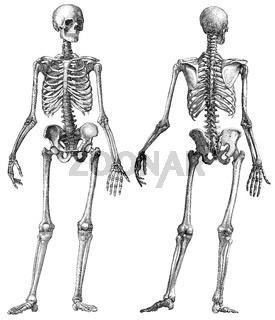 Human skeleton, anatomical illustration, 19th Century