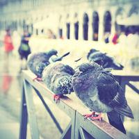 Doves in Venice
