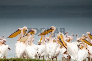 Pelicans by Lake Nakuru