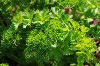 Petersilie im Garten - parsley in garden 05