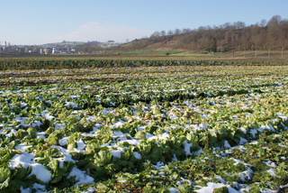 Brassica rapa ssp. pekinensis, Chinakohl, mit Schnee