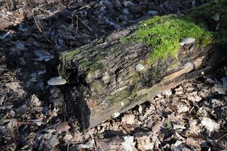 Fomes fomentarius, Zunderschwamm, Tinder fungus