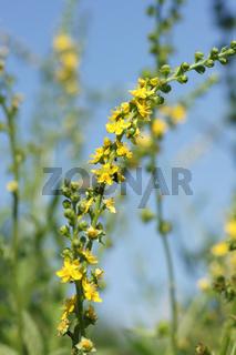 Agrimonia procera, Wohlriechender Odermennig, Agrimony