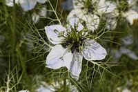 Nigella gallica, Pale fennel-flower