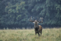 Red Deer stag standing flehm on a forest meadow