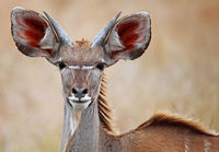 young Greater Kudu in South Africa