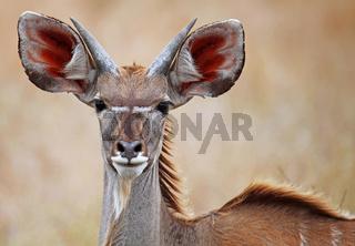 Junger Kudu im Kruger Nationalpark, Südafrika, young Greater Kudu in South Africa, Tragelaphus strepsiceros