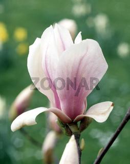 Magnolienbluete; Magnolia,