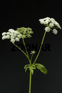 Giersch; Aegopodium Podagraria