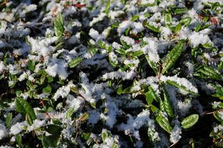 Berberis julianae, ImmergrÃne Berberitze, Barberry, mit Schnee