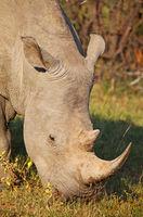 white rhinoceros, Marakele NP, South Africa