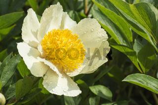 Weiss blühende Pfingstrose (paeonia)