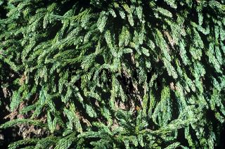 Sicheltanne, Crytomeria japonica, Globosa Nana