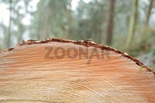 Detail einer Baum-Schnittflaeche