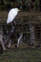 Cattle Egret adult bird in winter plumage