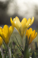 yellow blooming crocus