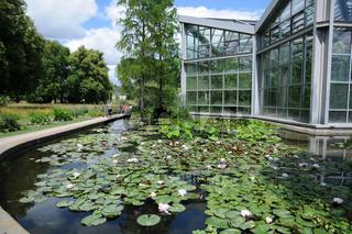 Nymphaea, Seerose, Water lily, Teichbecken