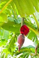Banana fruit and blooming flower on palm tree at tropical plantation. India