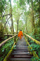 Buddhist monk at wooden bridge in misty tropical rain forest. Sun beams shining through trees at jungle landscape. Travel background at Doi Inthanon Park, Thailand